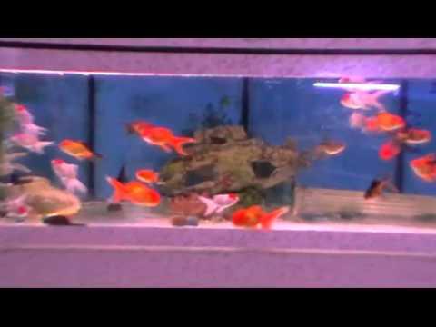 Poisson rouge oranda youtube - Poisson rouge pinocchio ...