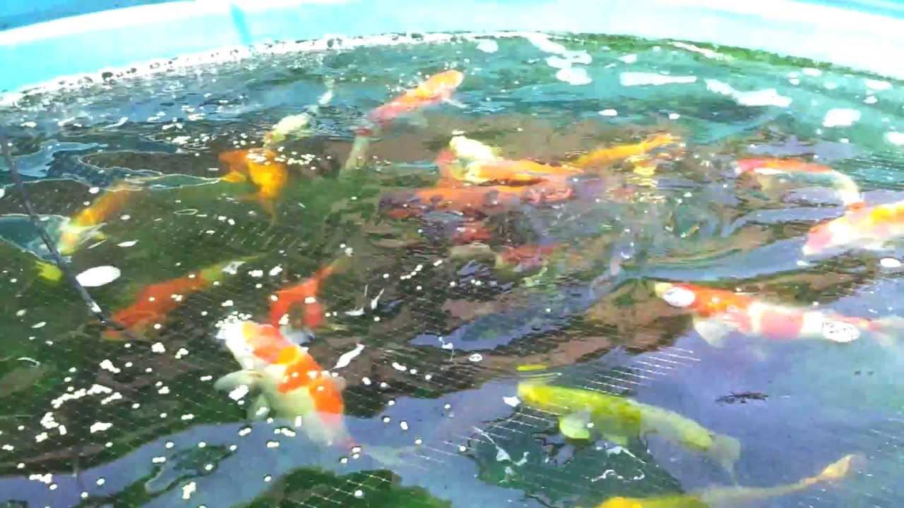 1200 gallon koi pond with catfish eating youtube for Koi pond gallons
