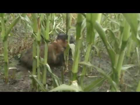 German Hunting Terrier in action