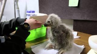 4月に産まれたフクロウのヒナに、給餌をしています。 食べる勢いが落ち...