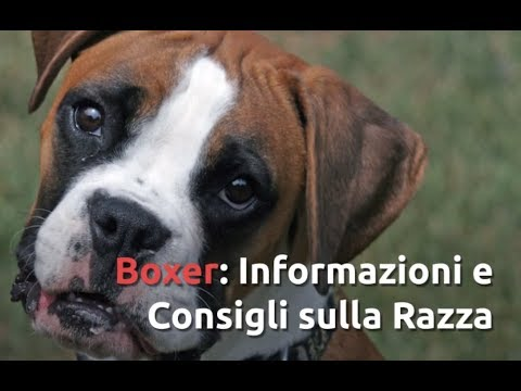 Razza Boxer: Informazioni e Consigli Utili