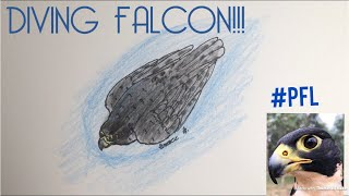 Timelapse Drawing Diving Falcon | #PeregrineFalconLover