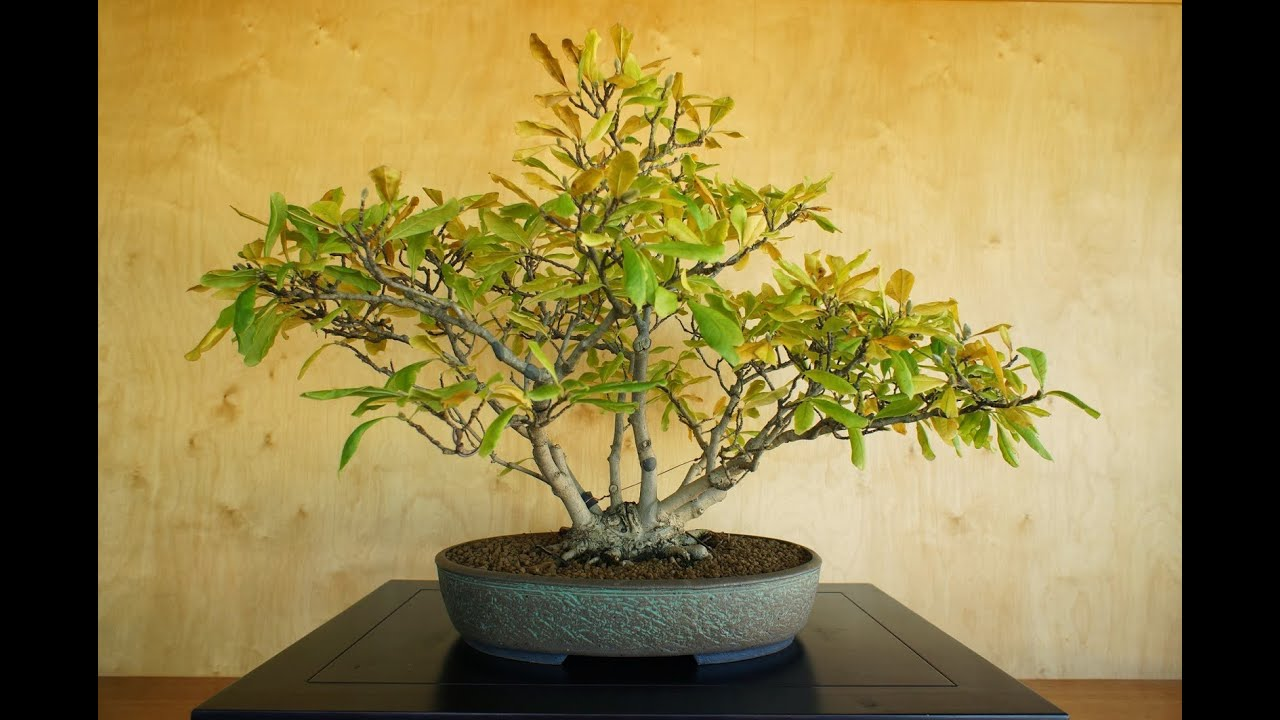 Magnolia Bonsai Bonsai Species Guides Youtube