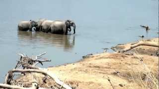 Matriarch Elephants  Protect Baby Elephant from Crocodile Attack