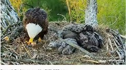05 09 2020~Decorah Eagles~DM2 brings fish~Mom Brings stick places it on D36 and takes over fish!