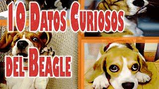 10 Datos Curiosos y Divertidos del Perro Beagle
