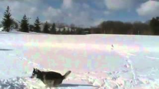 Meet Akira A Siberian Husky Currently Available For Adoption At Petango.com! 2/21/2011 6:14:58 Pm