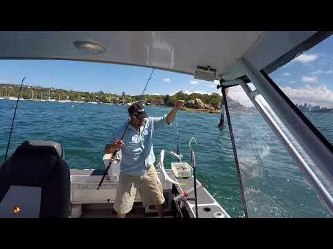 Sydney Harbour Rat Kingfish