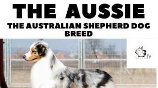 The AUSSIE  The Australian Shepherd Breed  GogCastTv!