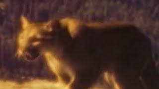 Mountain Lion Attacks Girl