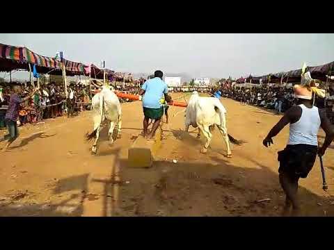 Kotla ramana bulls