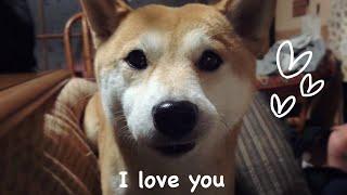 少しでもくっついていたい柴犬 I always want to cuddle up you thumbnail