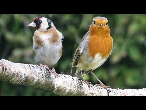 Song Birds in The Garden on A Sunny Day - Slow Motion
