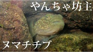 1年半飼育しているちょっとだけ照れ屋でやんちゃなヌマチチブ単独水槽です。どこにでもいるような種ですが、飼育してみると可愛い魚です。か...