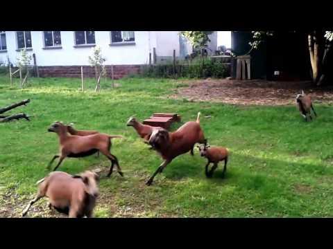 Schafe - Kamerunschafe ; Cameroon sheep - glücklich, freudig, lebendig- II - happy sheep