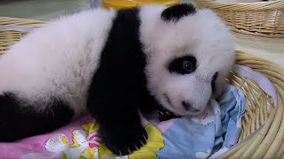 Teaching A Baby Panda To Poo - Panda Babies - BBC Earth