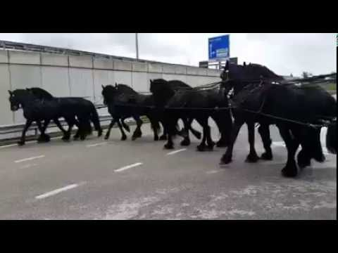 смешное видео лошади фризы