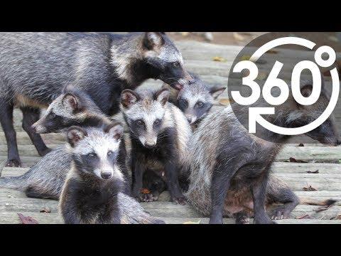 360Lives )Japanese raccoon dog/いきもの目線)ホンドタヌキ