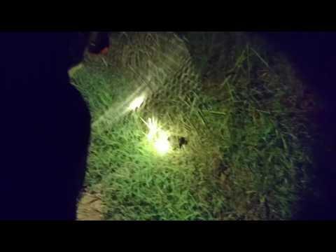 Teknik menangkap burung baburak ( manguak)