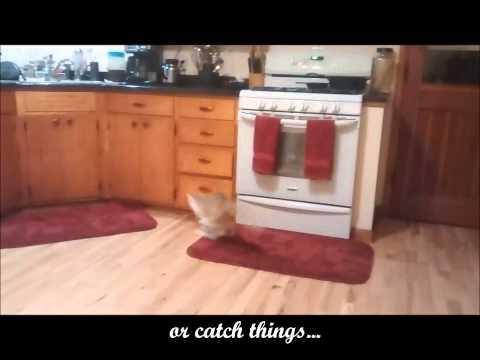 Lenny the polydactyl cat