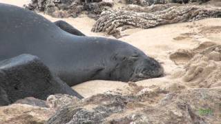 Hawaiian Monk Seal Encounter