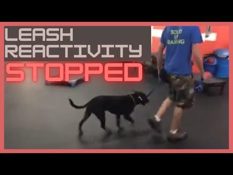 Dog Training   Dog leash reactivity stopped in minutes   Solid K9 Training Dog Training