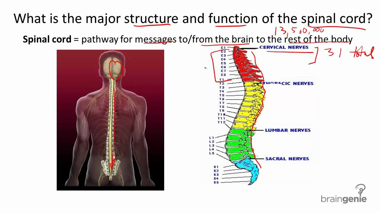 8 1 2 The Spinal Cord Structure And Function Youtube