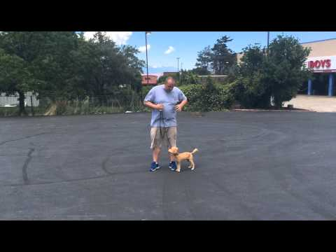 How to train a dog to walk on a loose leash