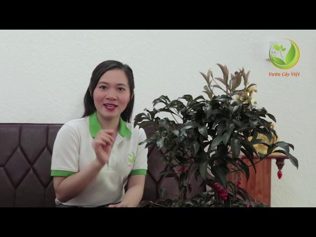 Cây Kim ngân lượng: Đặc điểm, ý nghĩa phong thủy, cách chăm sóc