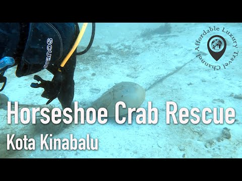 Horseshoe Crab Rescue In Kota Kinabalu