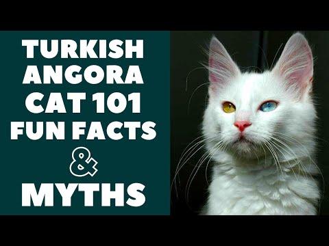 Turkish Angora Cats 101 : Fun Facts & Myths