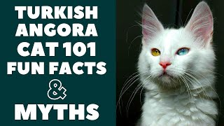 Turkish Angora Cats 101 : Fun Facts & Myths