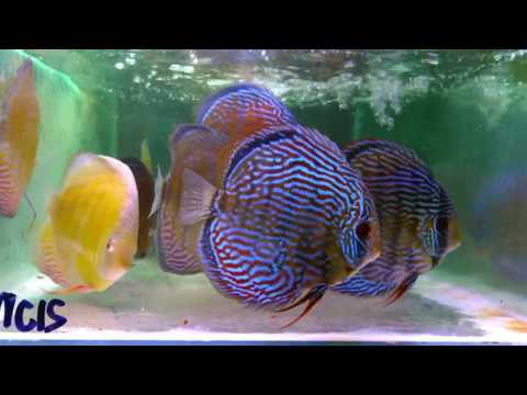 Soon In Uk - Chens Discus