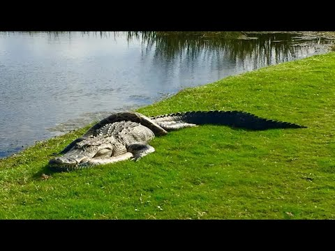 Incredible fight between python and alligator is captured by shocked golfers
