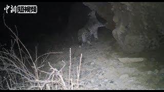 中国甘肃阿克塞首次拍到雪豹视频:在岩壁小道漫步