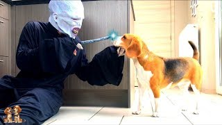 Funny Dogs vs Lord Voldemort : Funny Beagles Louie & Marie