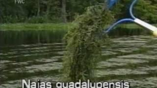 Southern naiad (Najas guadalupensis)
