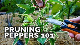 Pruning Pepper Plants 101: Is It Even Necessary?