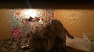 шотландский золотой кот.Вязка