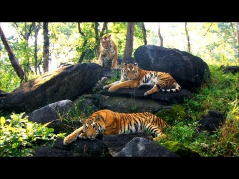 Growing Up In The Tiger Family | David Attenborough | Tiger | Spy In The Jungle | BBC