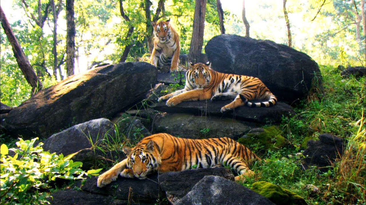 Growing Up in the Tiger Family | David Attenborough ...