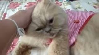 Коллекция персидских Котов. Тайланд