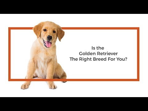 Is the Golden Retriever the right breed for me?