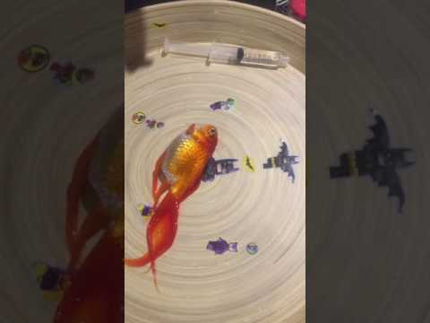 Upside Down Goldfish Swim Bladder Operation
