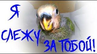 ШОК! Попугай неразлучник угрожает расправой!