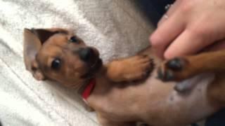 Errol The Dachshund - Errol Gets A Tummy Scratch