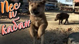 ПЁС И КАБАН | жизнь домашних животных | ИСТОРИИ ПРО ЖИВОТНЫХ