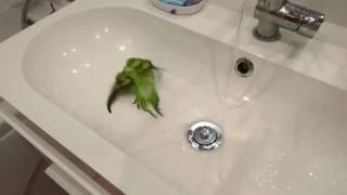 Волнистый попугай купается в раковине