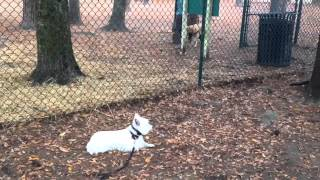 West Highland Terrier Obedience, Dog Training In Savannah Ga