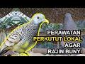 Perawatan Perkutut Lokal Agar Rajin Bunyi  Mp3 - Mp4 Download